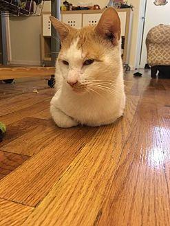 Domestic Shorthair Cat for adoption in Brooklyn, New York - Dashing Jeffrey!