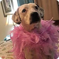 Dalmatian/Beagle Mix Dog for adoption in Port Charlotte, Florida - Dali