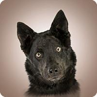 Husky/Shepherd (Unknown Type) Mix Dog for adoption in Prescott, Arizona - Midnight
