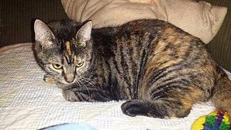 Domestic Shorthair Kitten for adoption in Iroquois, Illinois - Merrick