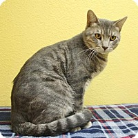 Domestic Shorthair Cat for adoption in Benbrook, Texas - Cuddle Wumps