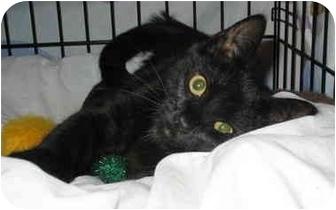 Domestic Shorthair Kitten for adoption in Cincinnati, Ohio - Snider, Snickers