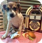 Spaniel (Unknown Type)/Labrador Retriever Mix Puppy for adoption in Manchester, Connecticut - Annalisa ADOPTION PENDING