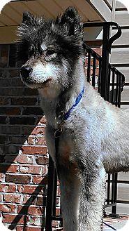 Alaskan Malamute/Husky Mix Puppy for adoption in Augusta County, Virginia - Flint