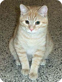 Domestic Shorthair Kitten for adoption in Merrifield, Virginia - Cody