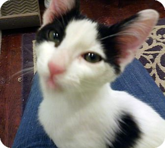 Domestic Shorthair Kitten for adoption in Mission Viejo, California - Toby
