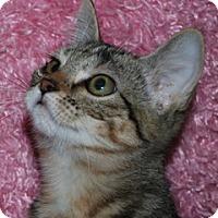 Adopt A Pet :: Chai - St. Louis, MO