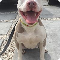 Adopt A Pet :: Lyla - Santa Monica, CA