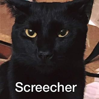 Domestic Shorthair Cat for adoption in Riverview, Florida - Screecher