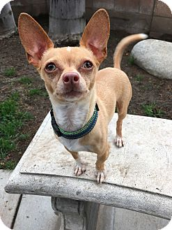 Chihuahua Mix Dog for adoption in Fountain Valley, California - Pizza
