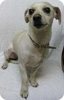 Chihuahua Mix Dog for adoption in Gary, Indiana - Donny