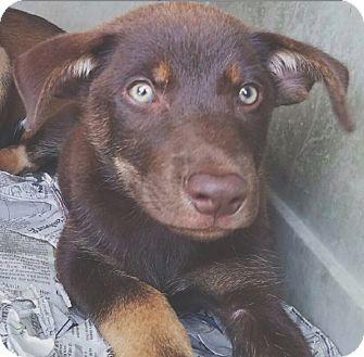 German Shepherd Dog/Labrador Retriever Mix Puppy for adoption in Pompton Lakes, New Jersey - Cocoa