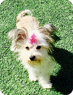 Yorkie, Yorkshire Terrier/Terrier (Unknown Type, Small) Mix Puppy for adoption in Encino, California - Gretchen