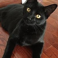 Domestic Shorthair Cat for adoption in Rochester, Michigan - Poprocks