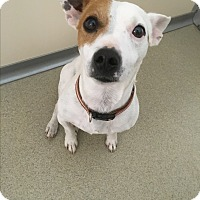 Jack Russell Terrier Mix Dog for adoption in Myakka City, Florida - Scooby