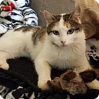 Adopt A Pet :: Cabella Vache (Pretty Face) - Denver, CO