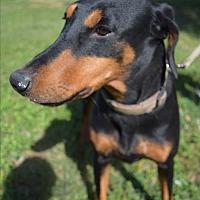 Doberman Pinscher Mix Dog for adoption in McAllen, Texas - Natasha
