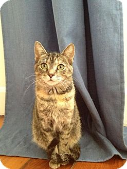 Domestic Shorthair Cat for adoption in Millersville, Maryland - Sonya Blade