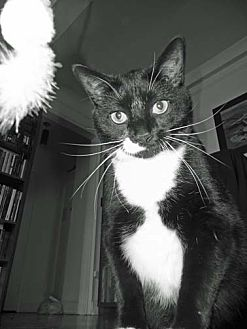 Domestic Shorthair Cat for adoption in Brooklyn, New York - XPost - Steve
