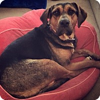 Adopt A Pet :: daphne - Wappingers, NY