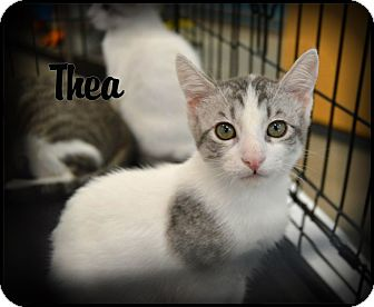 Domestic Shorthair Cat for adoption in Sherman Oaks, California - Thea