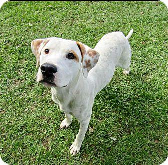Pointer Mix Dog for adoption in Barnegat, New Jersey - Spencer