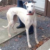 Adopt A Pet :: Pocono Sugar - Gerrardstown, WV