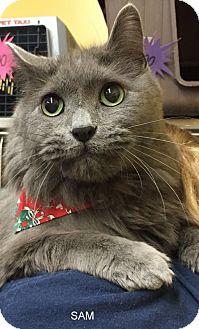 Domestic Mediumhair Cat for adoption in Hibbing, Minnesota - SAM