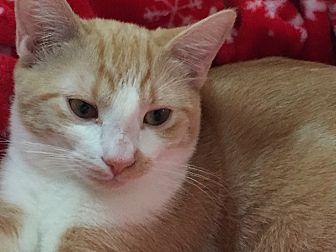Domestic Shorthair Cat for adoption in Santa Ana, California - Giselle