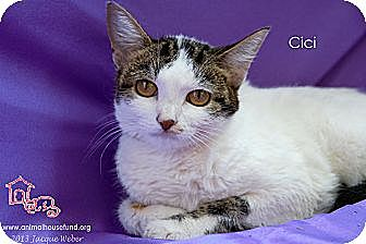 Domestic Shorthair Cat for adoption in St Louis, Missouri - Cici