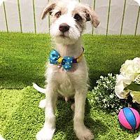 Adopt A Pet :: Oasis - Gorgeous Terrier/Formosan Pup - Seattle, WA