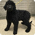Adopt A Pet :: ANDY~GOLDENDOODLE