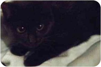 Domestic Shorthair Cat for adoption in Kensington, Maryland - Wendy