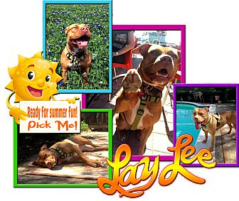 American Staffordshire Terrier/American Pit Bull Terrier Mix Dog for adoption in Colleyville, Texas - LayLee