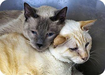 Siamese Cat for adoption in San Fernando Valley, California - Chirpy