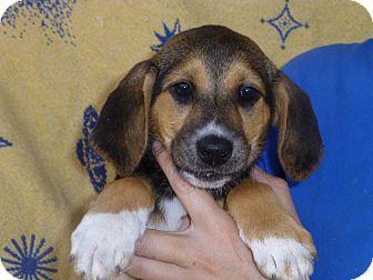 Labrador Retriever/Hound (Unknown Type) Mix Puppy for adoption in Oviedo, Florida - Carrie
