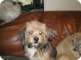 Cairn Terrier/Pekingese Mix Puppy for adoption in Apex, North Carolina - Kree