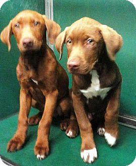 Labrador Retriever/Hound (Unknown Type) Mix Puppy for adoption in Huntsville, Alabama - Big Man