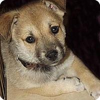 Adopt A Pet :: Norman - Phoenix, AZ