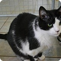 Domestic Shorthair Cat for adoption in East Smithfield, Pennsylvania - Amelia