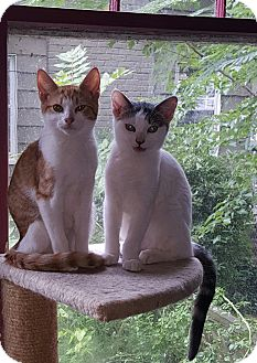 Domestic Shorthair Kitten for adoption in Albemarle, North Carolina - Grover Cleveland