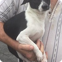 Chihuahua/Terrier (Unknown Type, Medium) Mix Dog for adoption in Livingston, Texas - Duke