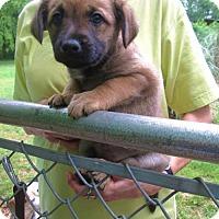 Adopt A Pet :: KAHLUA - Lincolndale, NY