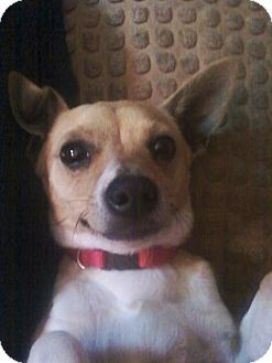 Jack Russell Terrier/Chihuahua Mix Dog for adoption in Homewood, Alabama - Oscar