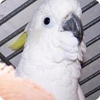 Cockatoo for adoption in Northbrook, Illinois - Papua