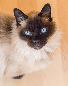 Himalayan Cat for adoption in Chicago, Illinois - Marigold