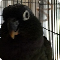 Pionus for adoption in Punta Gorda, Florida - Maggie