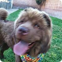 Adopt A Pet :: Teddy Bear - pending - Mira Loma, CA