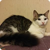 Adopt A Pet :: Smudgie FLUFFIEST Tail EVER - McDonough, GA