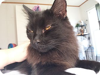 Domestic Longhair Cat for adoption in Waynesville, North Carolina - Chewy